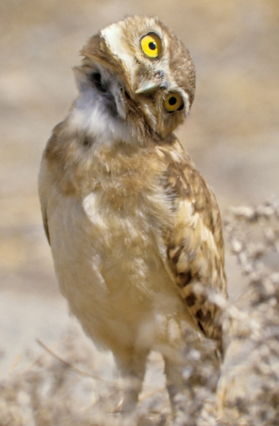 Burrowing owl. © given photography 2018