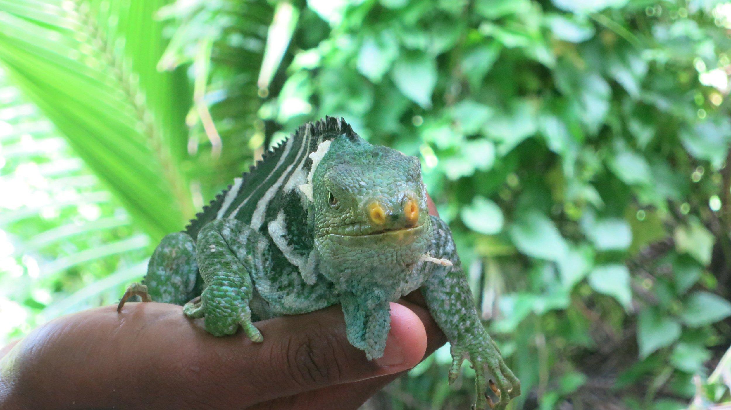 iguana monuriki.JPG