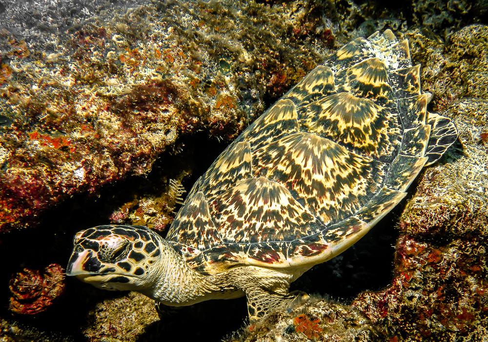 Hawksbill Turtle-1.jpg