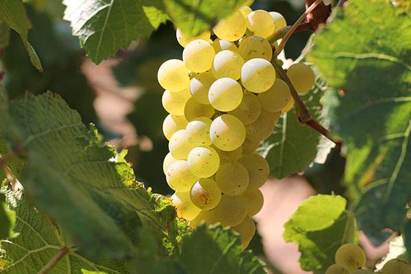 Mariah Vineyards - Mendocino Ridge