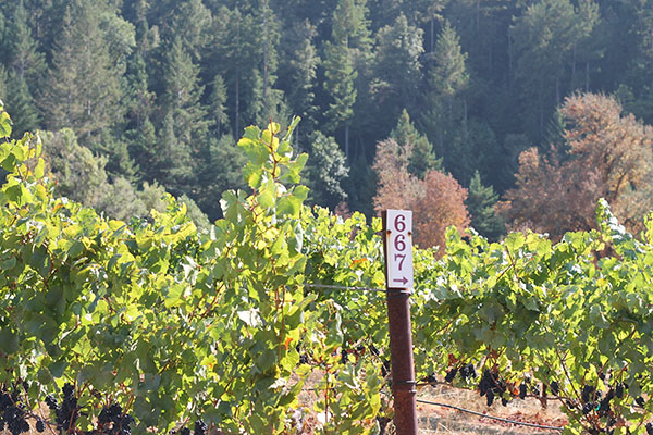 Oppenlander Vineyard,   Mendocino County