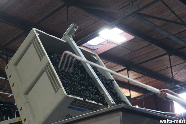 Dumping fruit from bin onto the sorting table. Photo: J. Waits