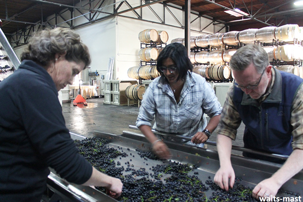 Sorting through Mariah fruit with our friend Cynthia (left), winemaker Shalini (middle) and Brian (right). Photo: J. Waits