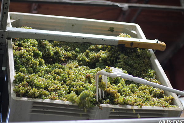 Preparing to hand sort Waits-Mast Sauvignon Blanc grapes from Mariah Vineyards. Photo: J. Waits/Waits-Mast Family Cellars