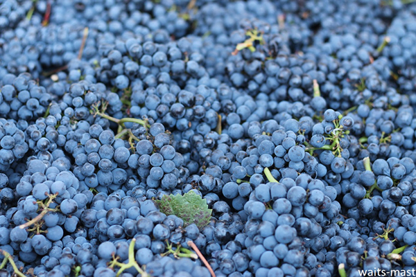 Waits-Mast Pinot Noir fruit from Nash Mill Vineyard. Photo: J. Waits/Waits-Mast Family Cellars