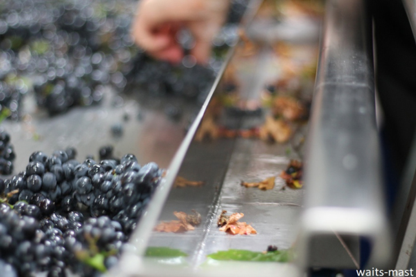Sorting table with MOG (material other than grapes) in tray to the right. Photo: J. Waits/Waits-Mast Family Cellars