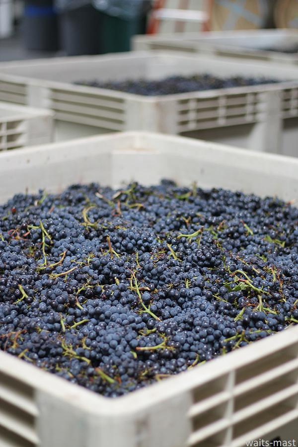 Bins of Wentzel pinot noir grapes soon after arrival at winery. Photo: J. Waits/Waits-Mast Family Cellars