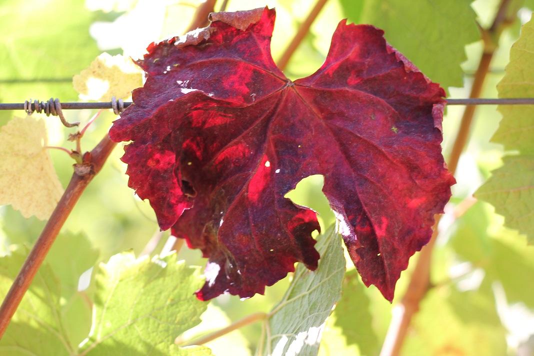 Vibrant leaf at Nash Mill Vineyard on September 9, 2018. Photo: J. Waits/Waits-Mast Family Cellars