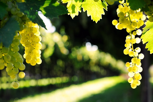 Yarra = Great Chardonnay Grapes - The grapes from this wine are sourced from around the Yarra Valley - a superb match between region and variety that means Chardonnay can really shine when grown here.
