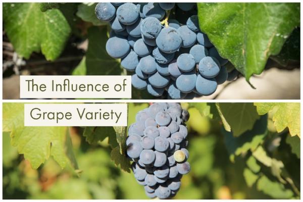 the influence of grape variety.jpg