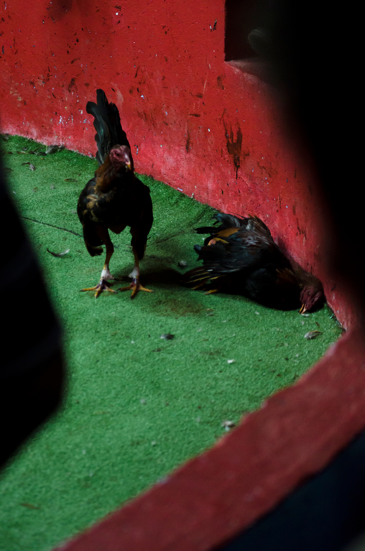 Cockfighting--24.jpg