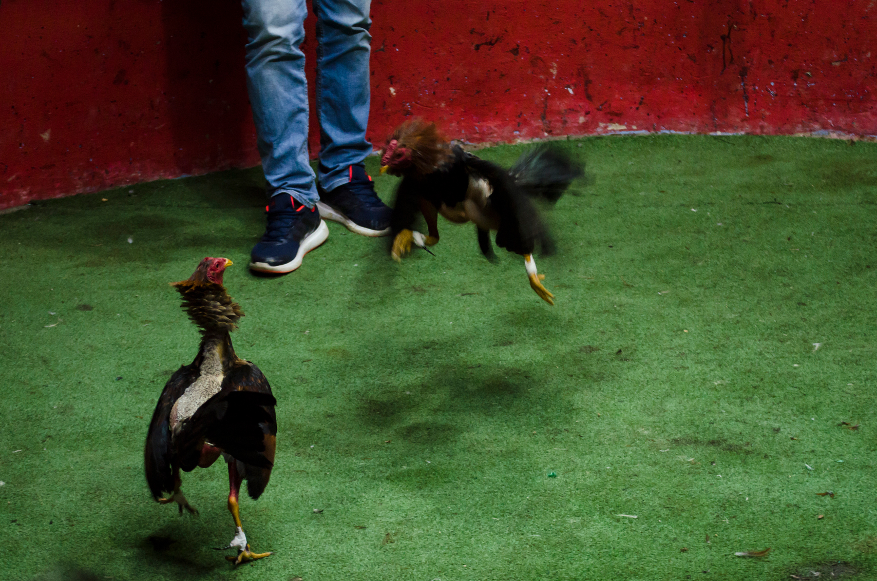 Cockfighting--20.jpg