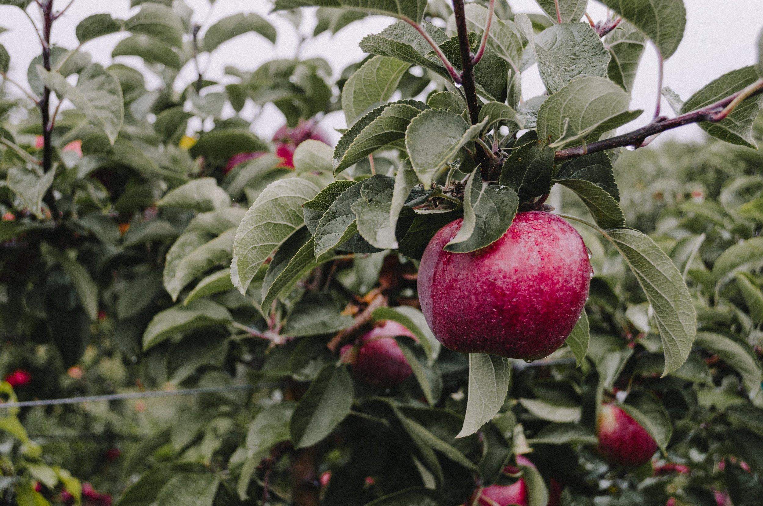 Farm Fresh Apples -