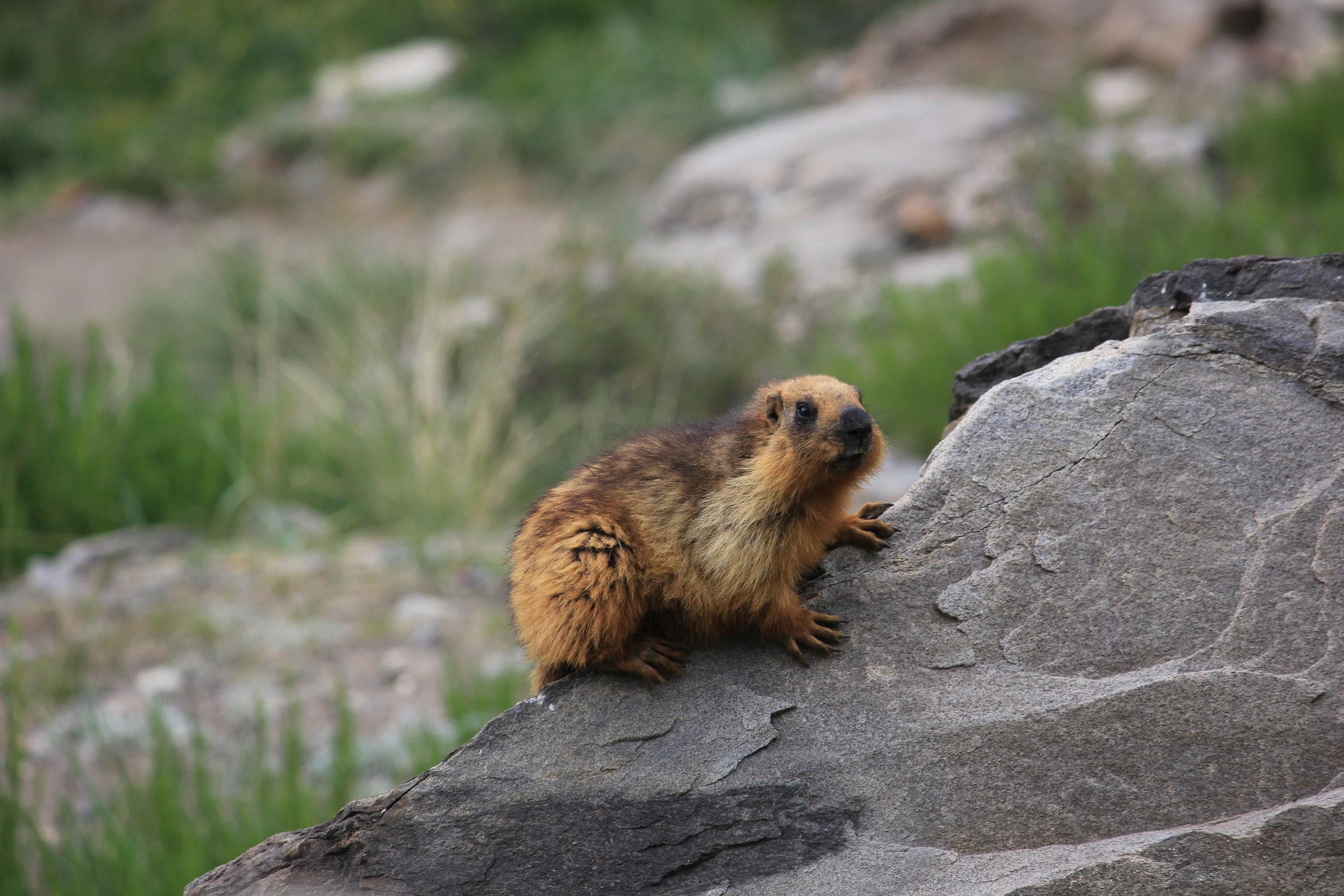 golden-marmot-ladakh-kargil
