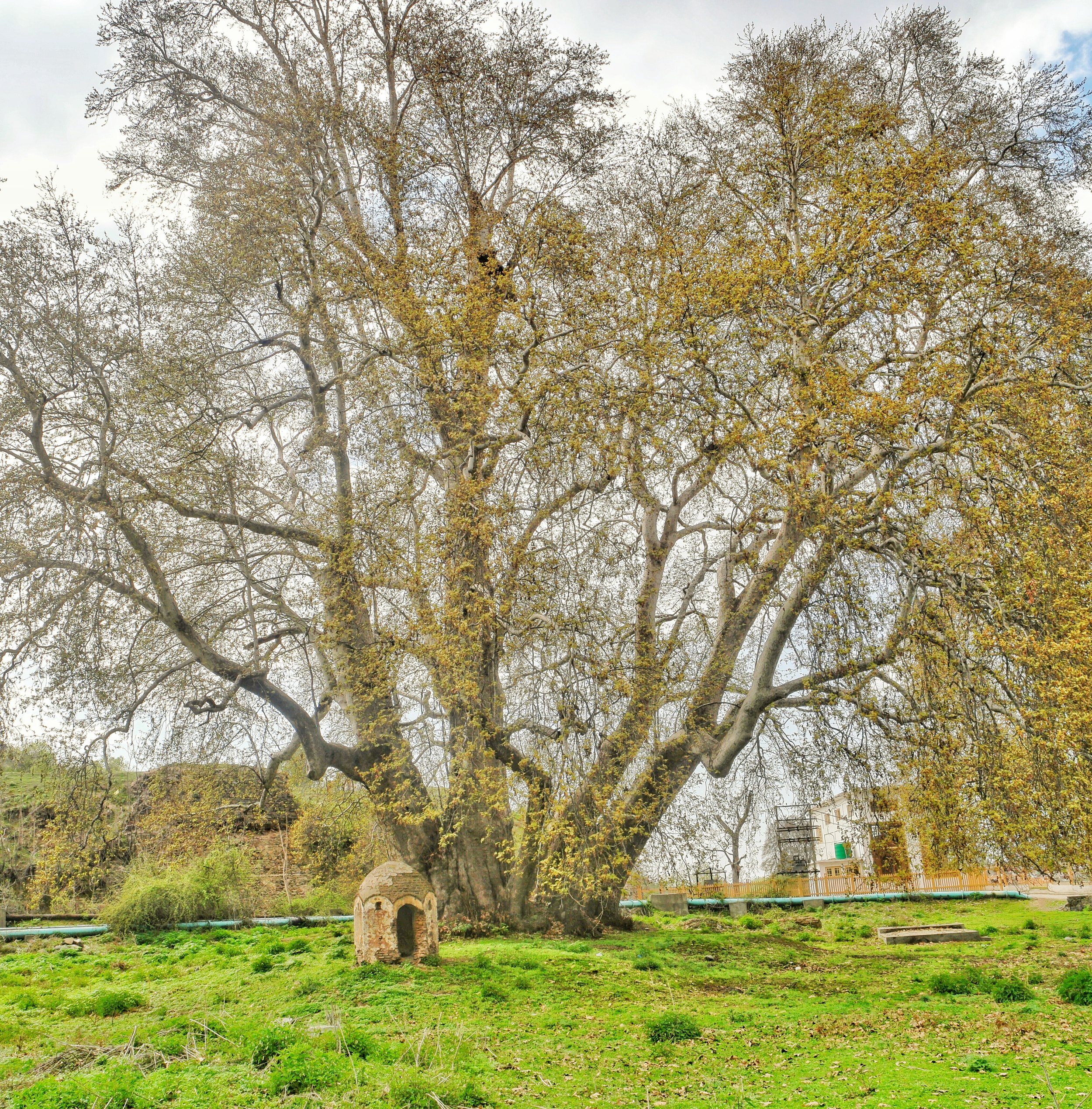 An massive old Chinar by the Pokhribal Lake with an ancient structure. Next to the Chinar is a crematorium used by the Sikh families living in this area.