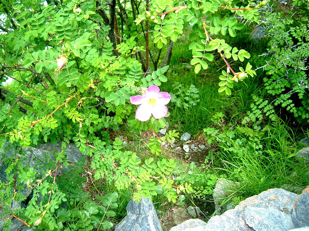 A Wild Rose locally called a Sia  (Pic Courtesy Wikipedia)