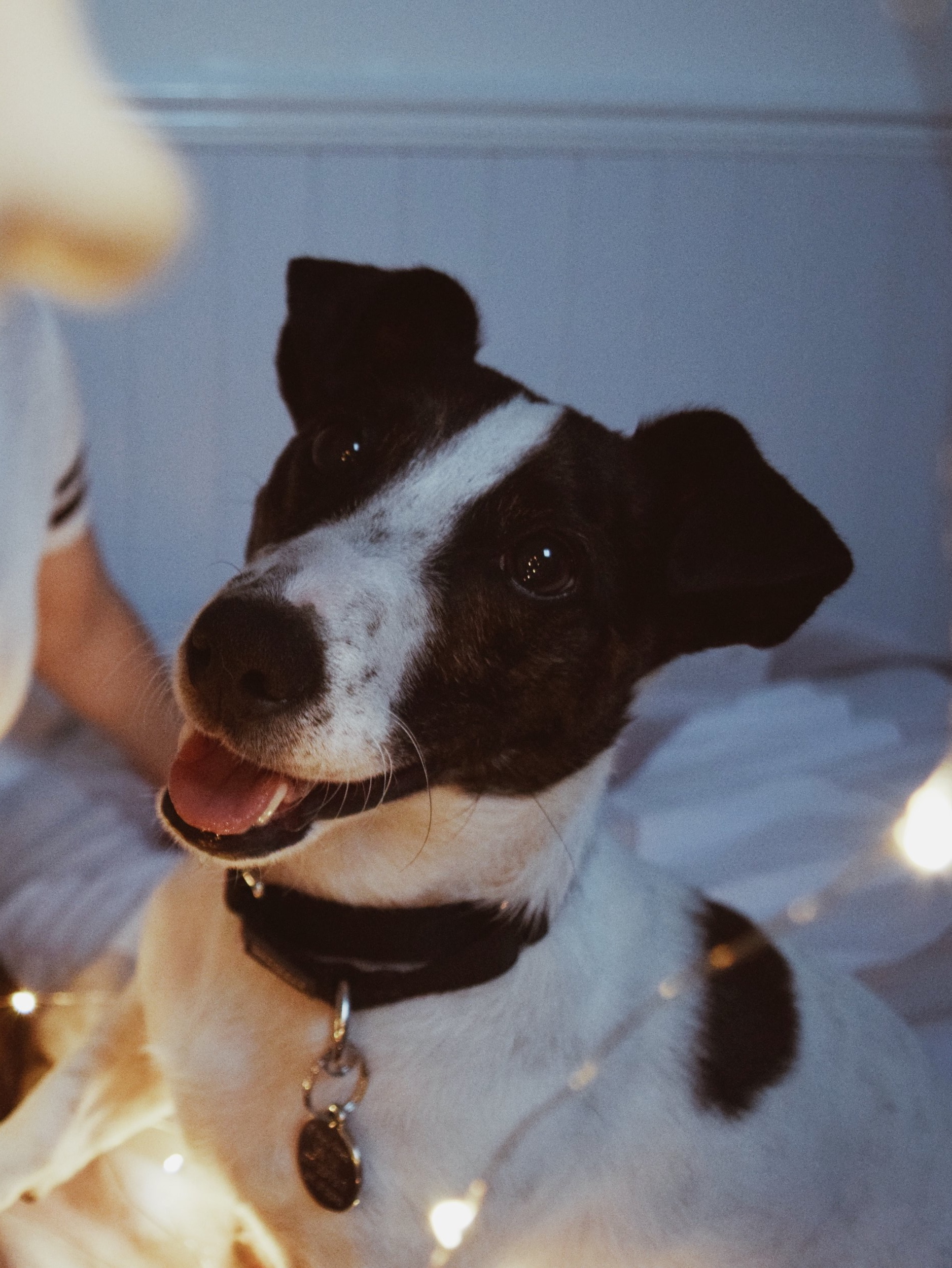 We are now the proud owners of Matisse, our lovely Jack Russell. He's a rescue dog from the fantastic charity, Rain Rescue. We were fortunate enough to be able to adopt him and welcome him to his forever home and now he's a wonderful, much loved member of the family.