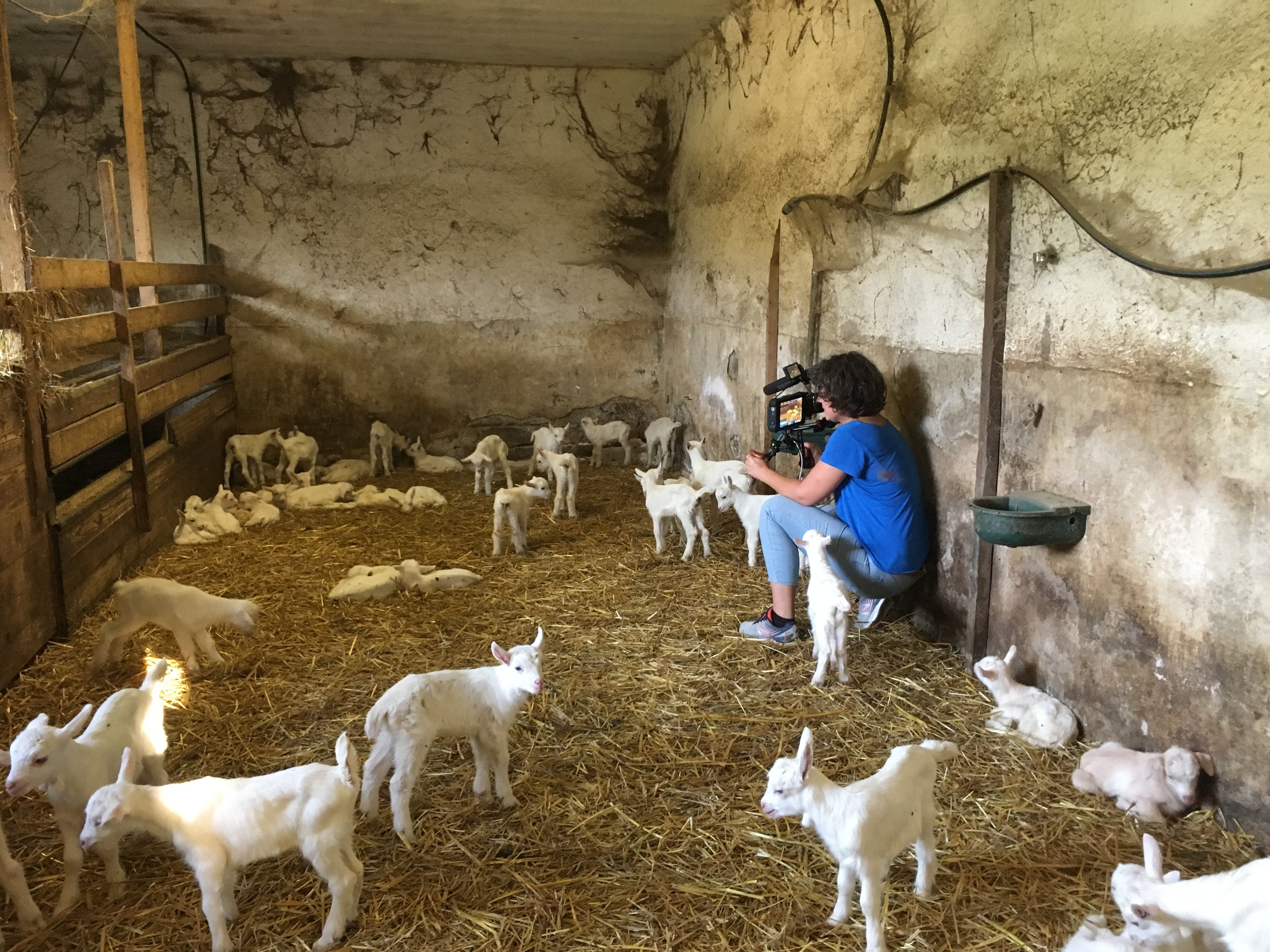 Cinematographer Anna Cooley filming all the baby goats on location at the Cora Formaggi goat farm.
