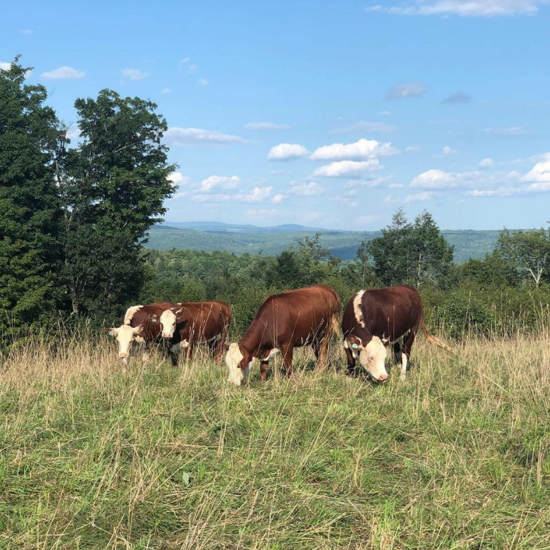 White Stag Farms_Cows.png