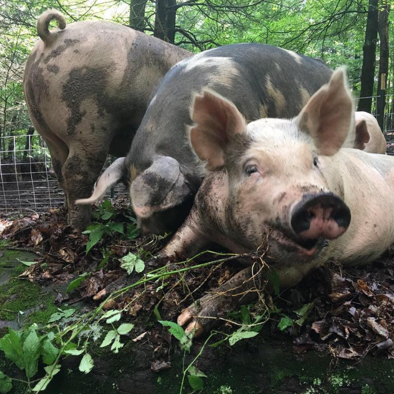 White Stag Farms_Pigs.png