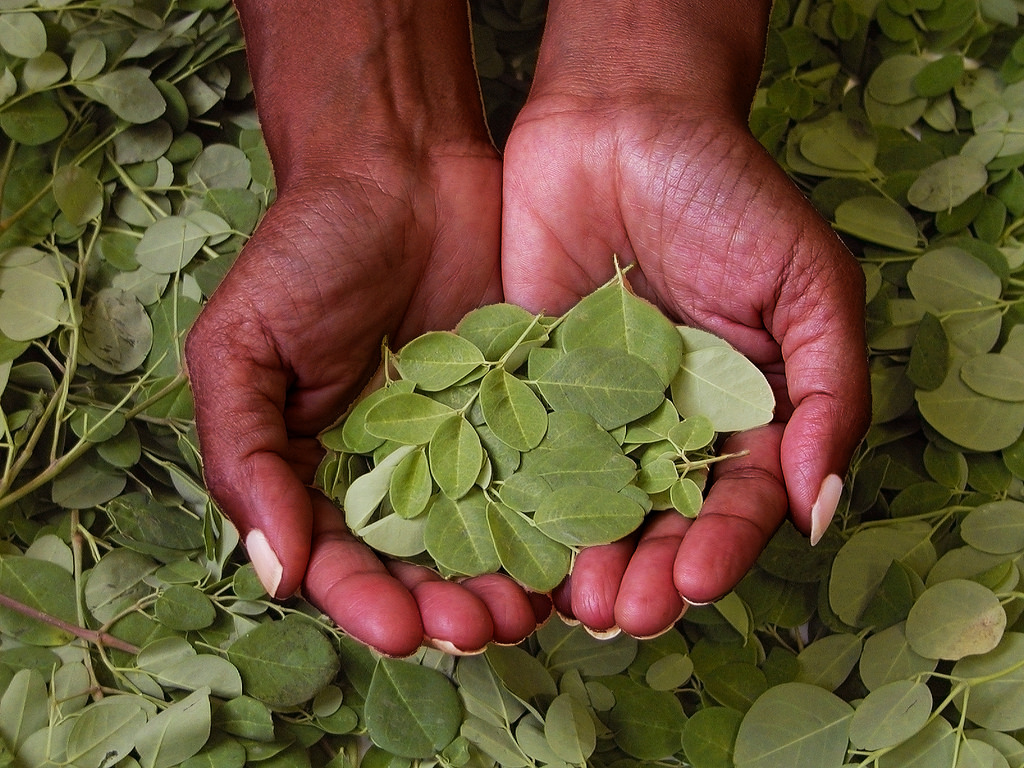 hands and moringa leaves.jpg