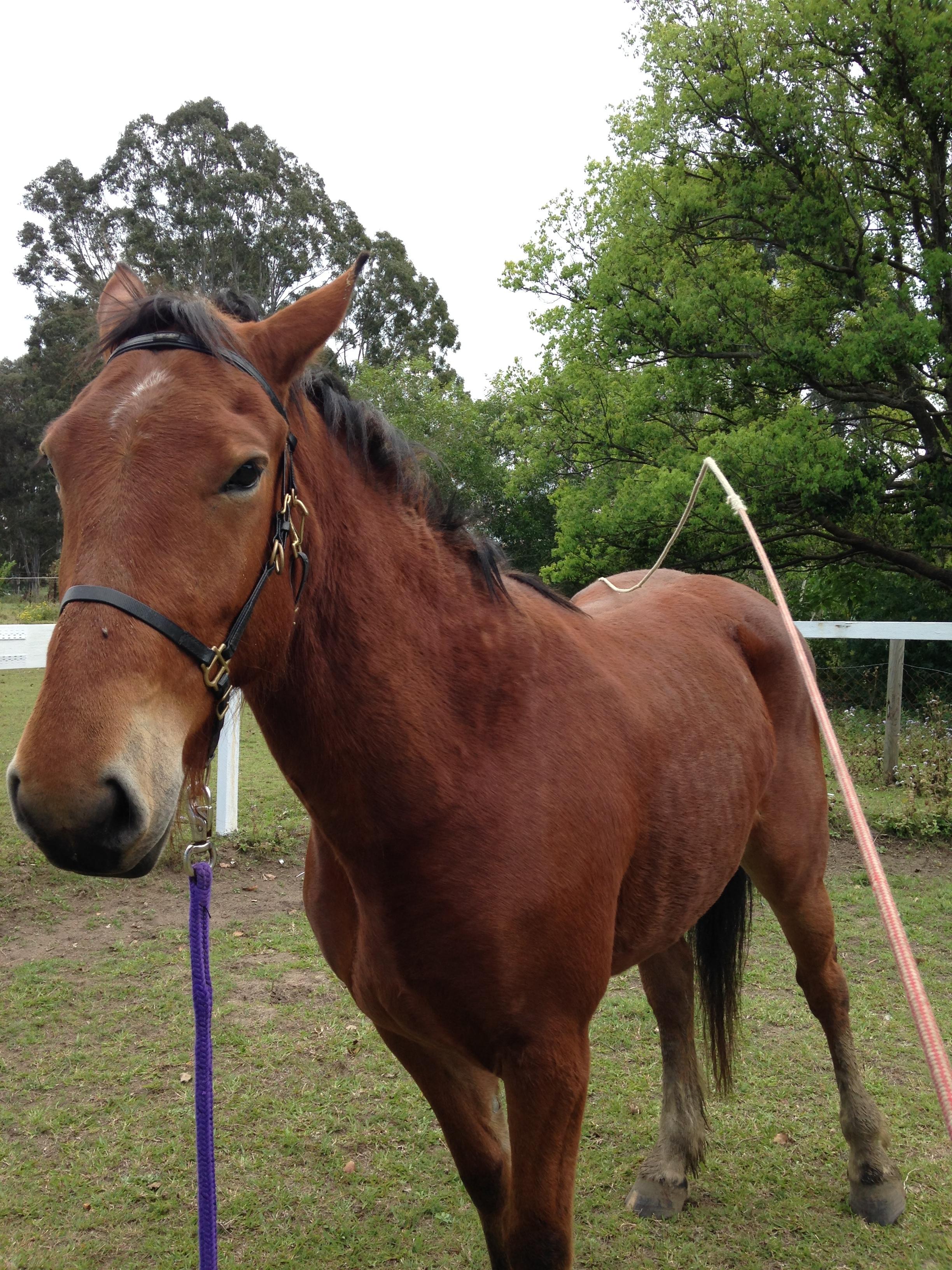 desensitising your horse