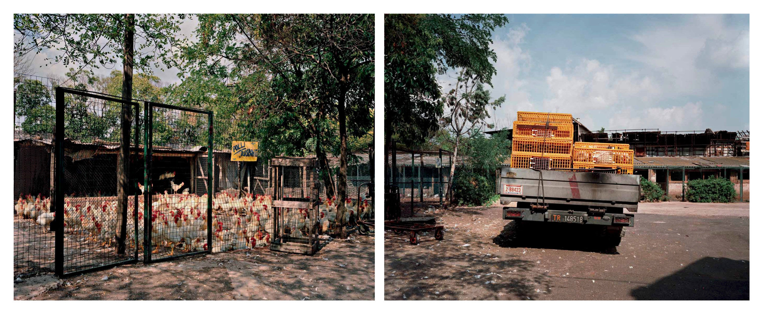 Free-range chickens, Cinecitta, Rome, July 1990