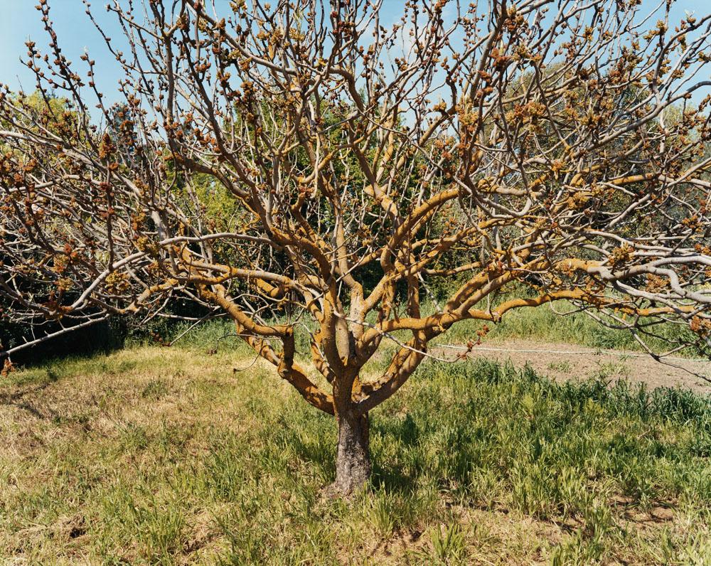 A Male Pistachio Tree in Bloom, Village Homes, Davis, California, March 2005.