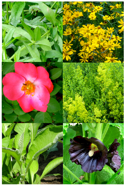 Row 1: madder & cereopsis    Row 2: wild rose & our ladies bedstraw    Row 3: elecampane & black hollyhock