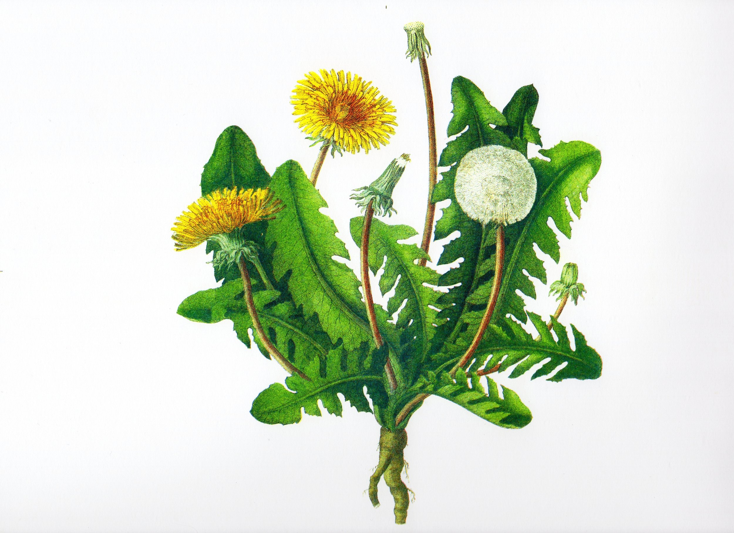 Dandelions, after a 19th century engraving - 3 colour book cover using Blue, Red, and Aqua Blue inks