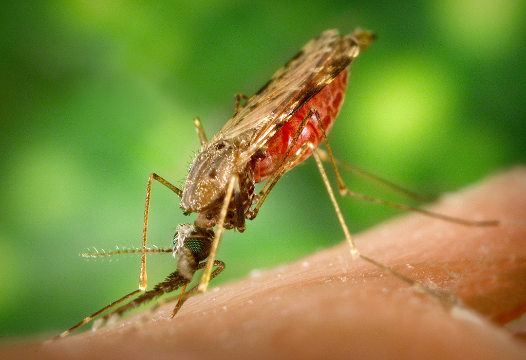 Mosquito - James Gathany PD.jpg