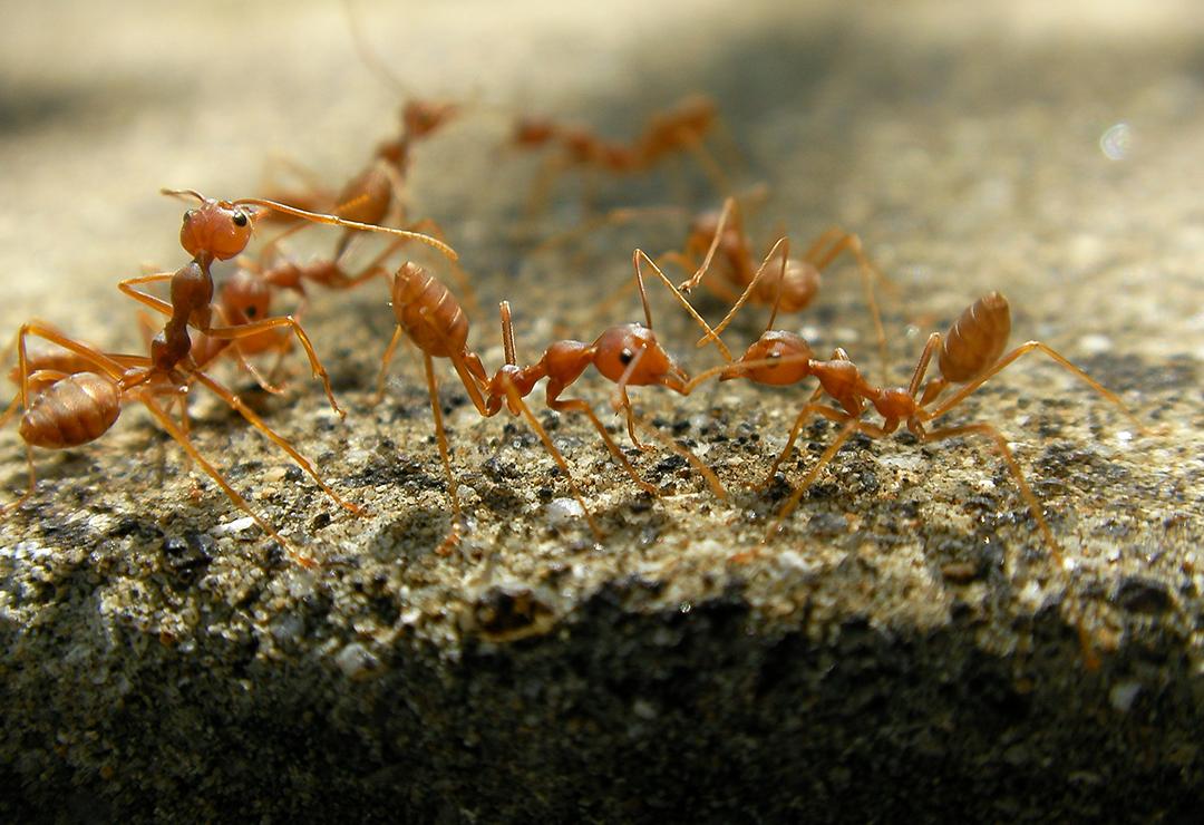 Fire Ants - Marufish 2.0.jpg