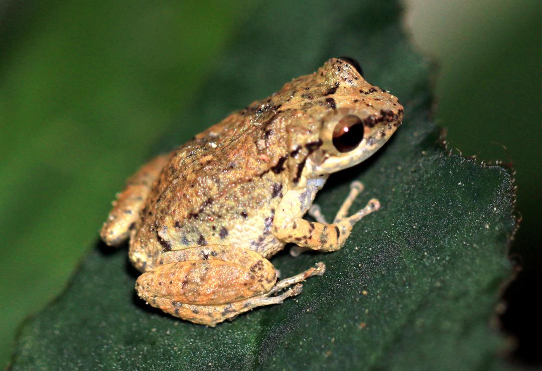 Lesser Antillean Whistling Frog - Charles J Sharp 4.0.jpg