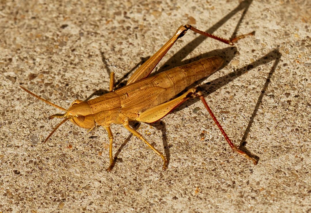 Cricket - Christopher Henry 2.0.jpg