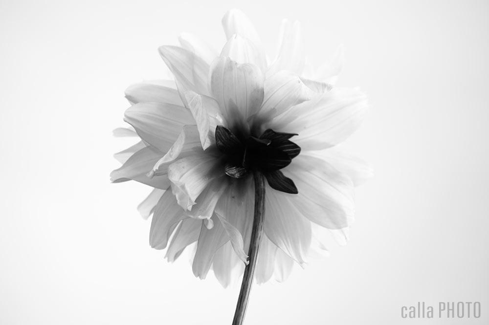 dahlia_01.jpg
