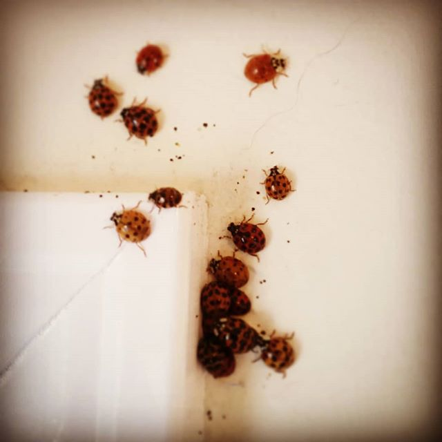Sometimes, interesting things happen at work. #ladybug #asianladybeetle #goth #emo #emobug #bug