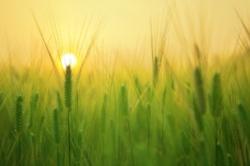 agriculture-barley-field-beautiful-207247.jpg