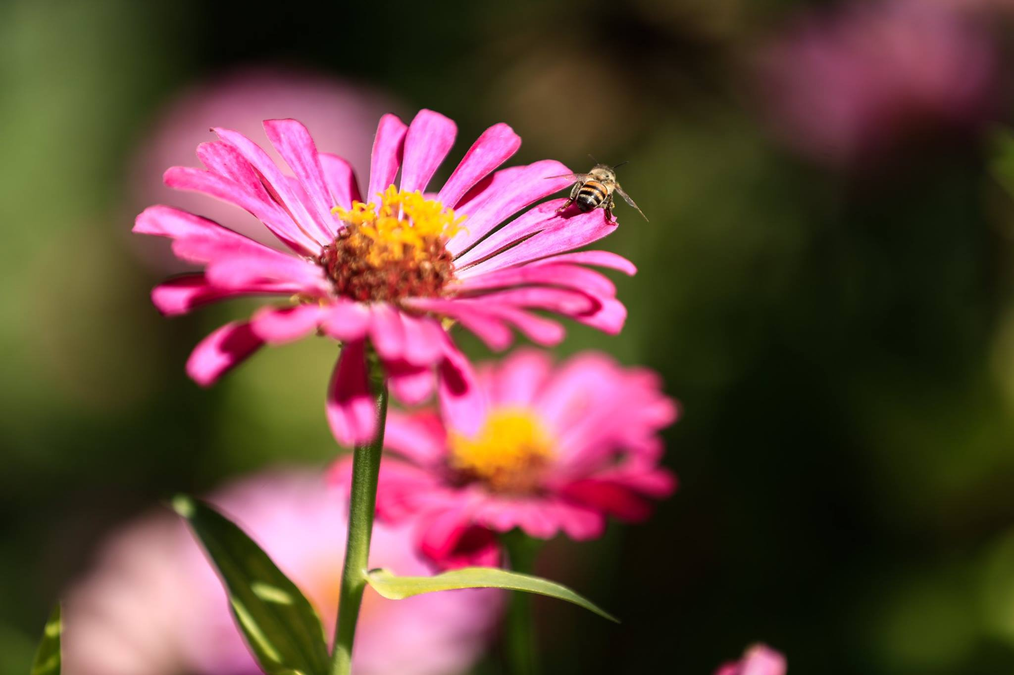 - A picture shows a bee collecting nectar from a flower at a bee farm in the rebel-controlled town of Hamouria,