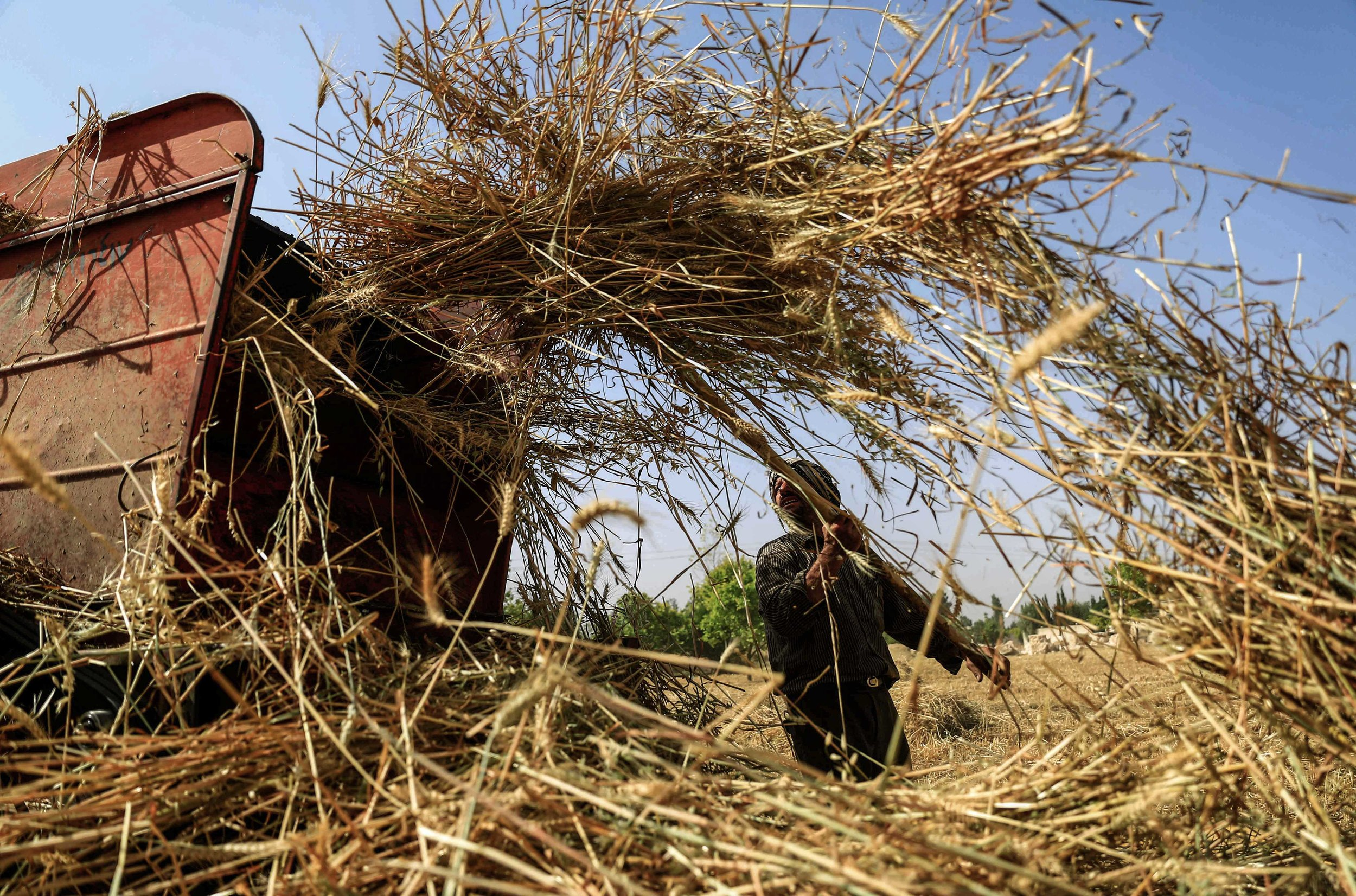 - A man harvests wheat in a field near the town of Hamouria.