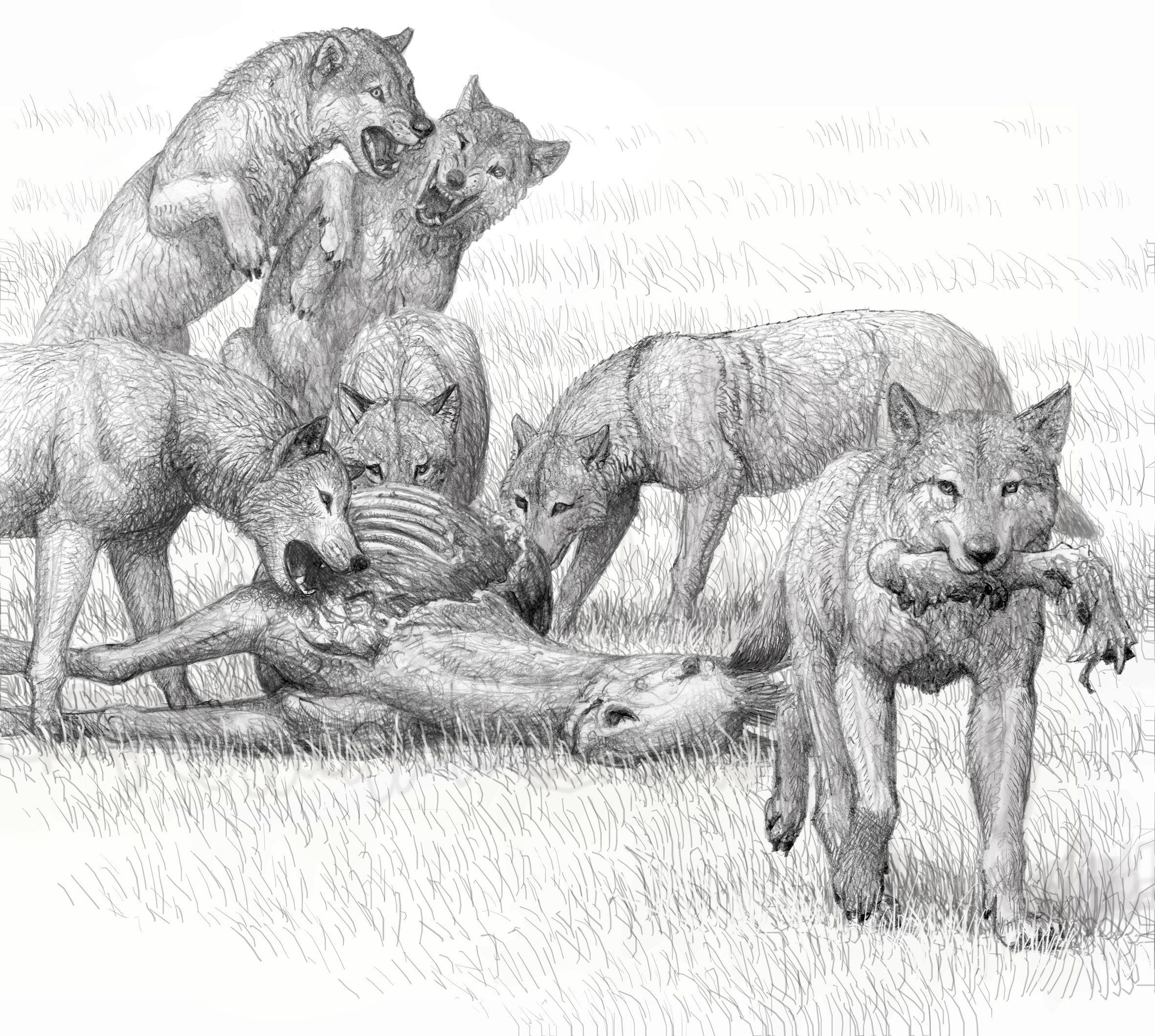 Artist conception of feeding by a pack of bone-crushing dogs of the species  Borophagus secundus , sister taxon of  Borophagus parvus , by Mauricio Antón.