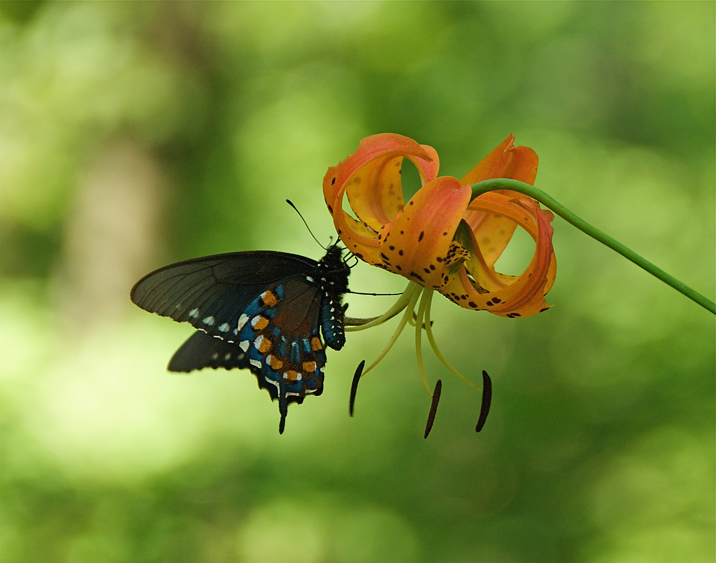 butterfly and turk cap lily.jpg