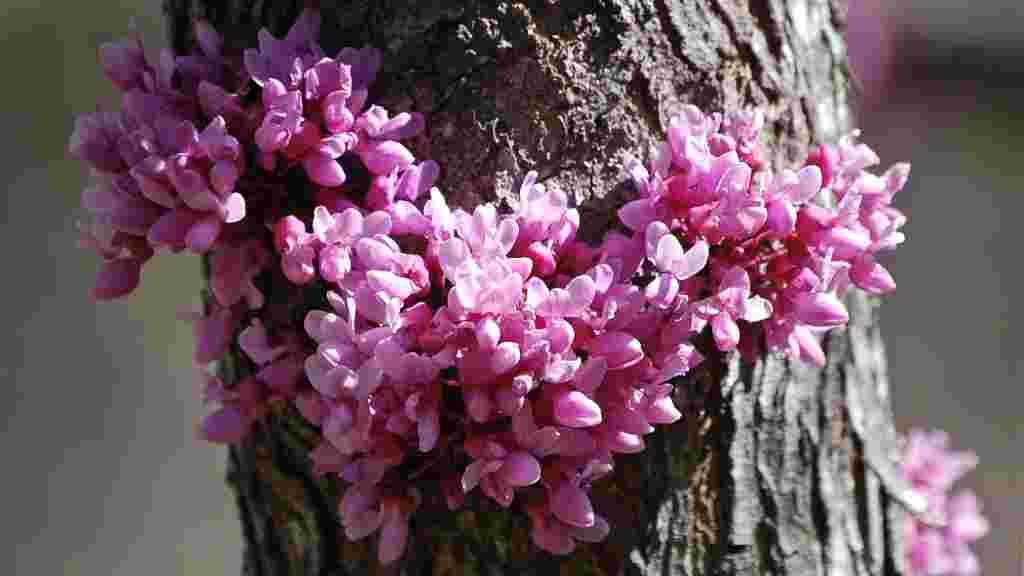 Blooming Redbud