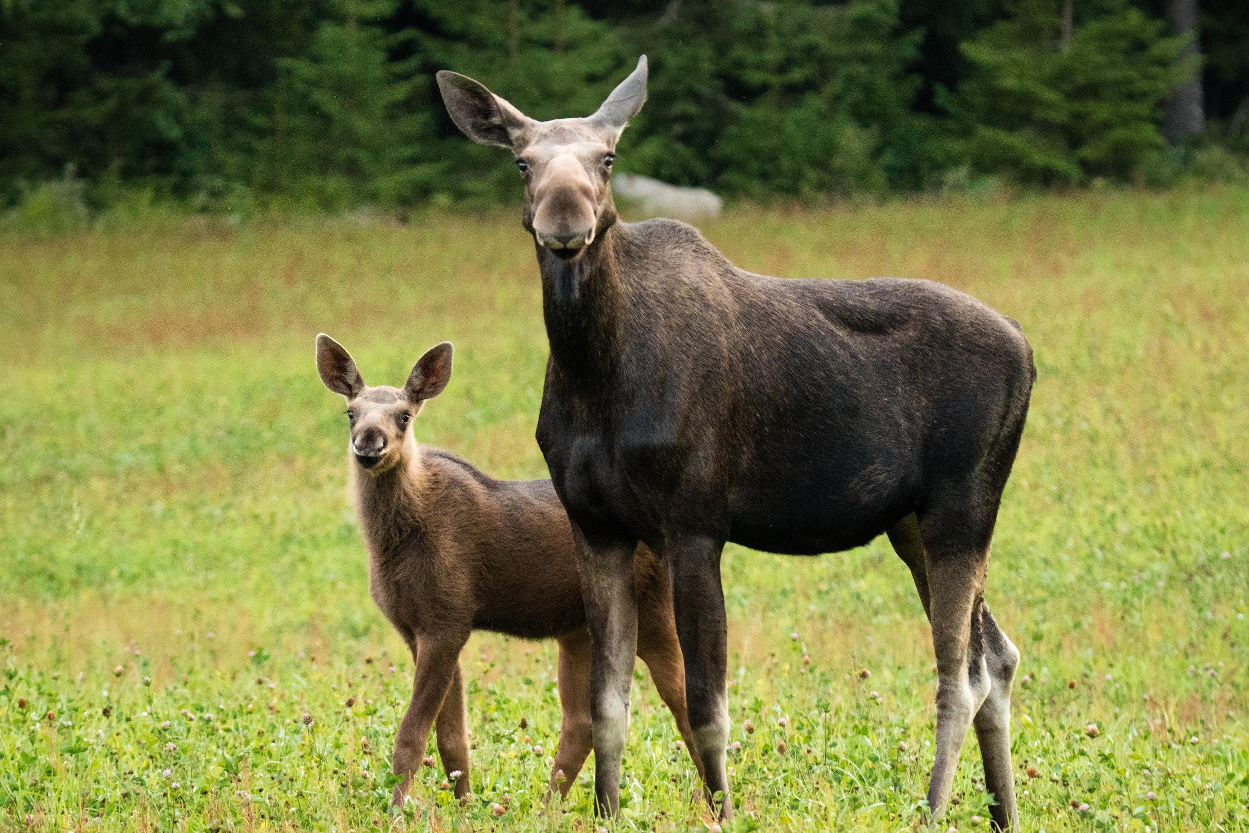 Moose cow and calf. Photo: Simon Green