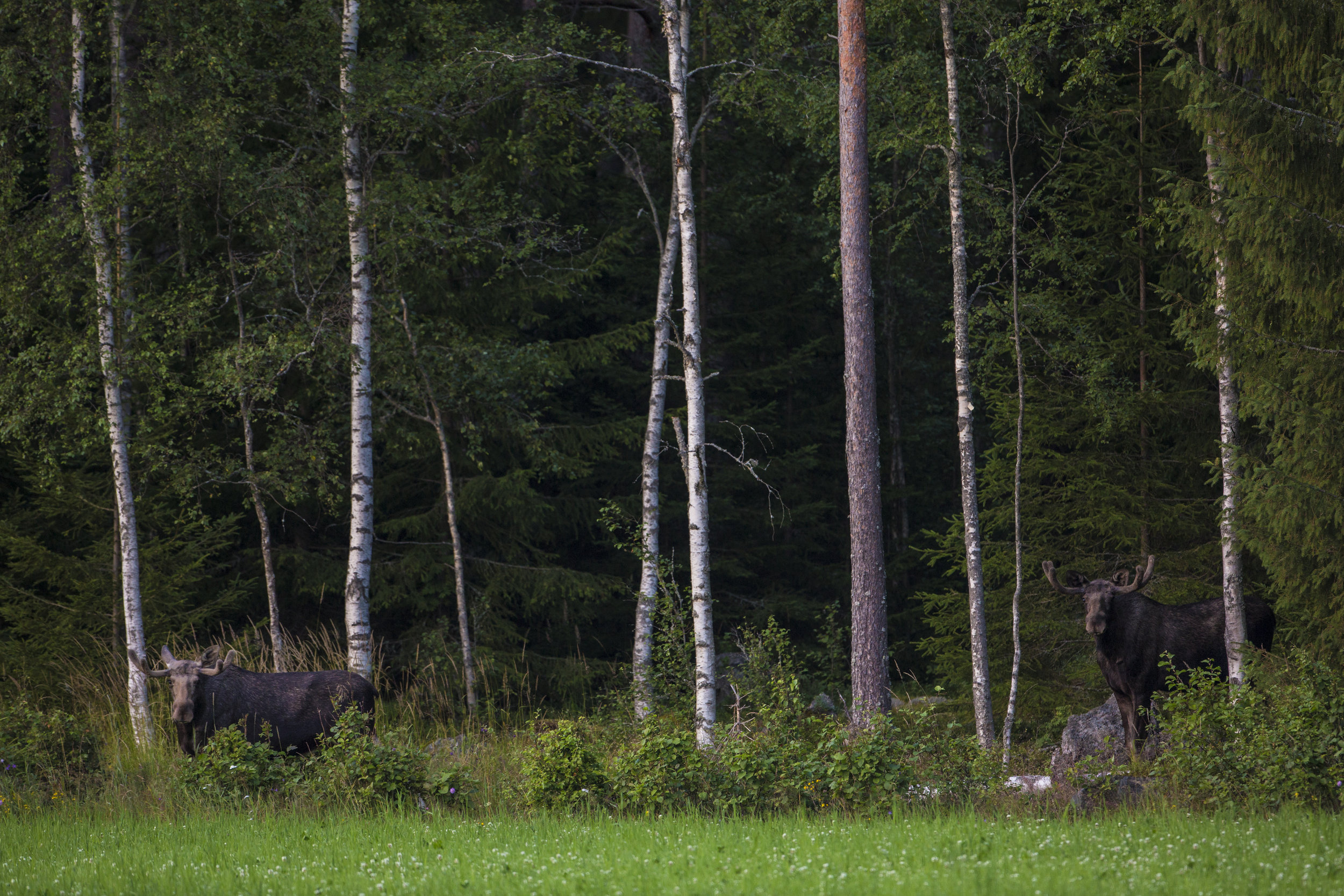 Moose bulls. Photo: Marcus Westerberg