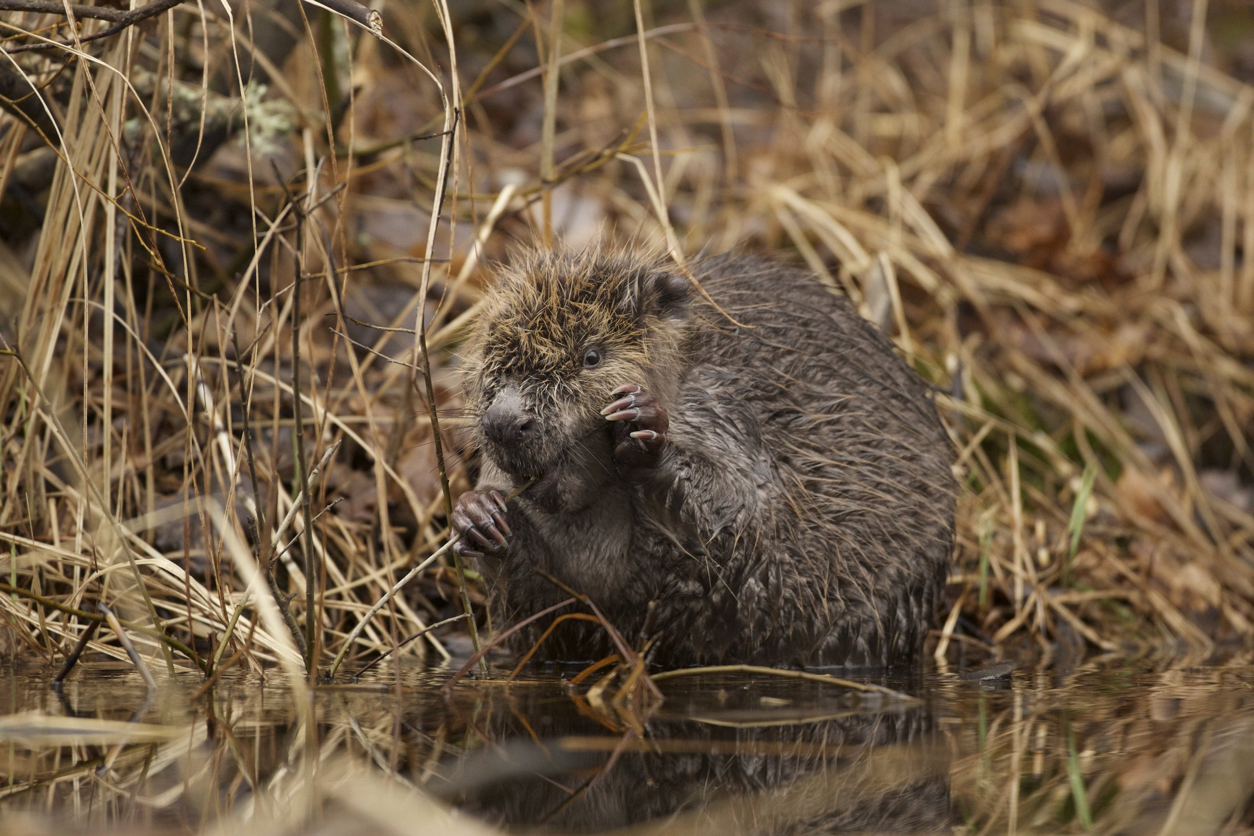 Beaver. Photo: Anders Öhlund