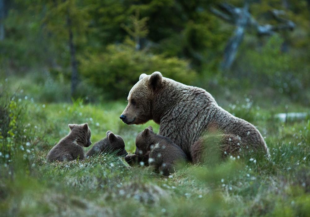 Female Brown bear with her cubs. Photo: Håkan Vargas