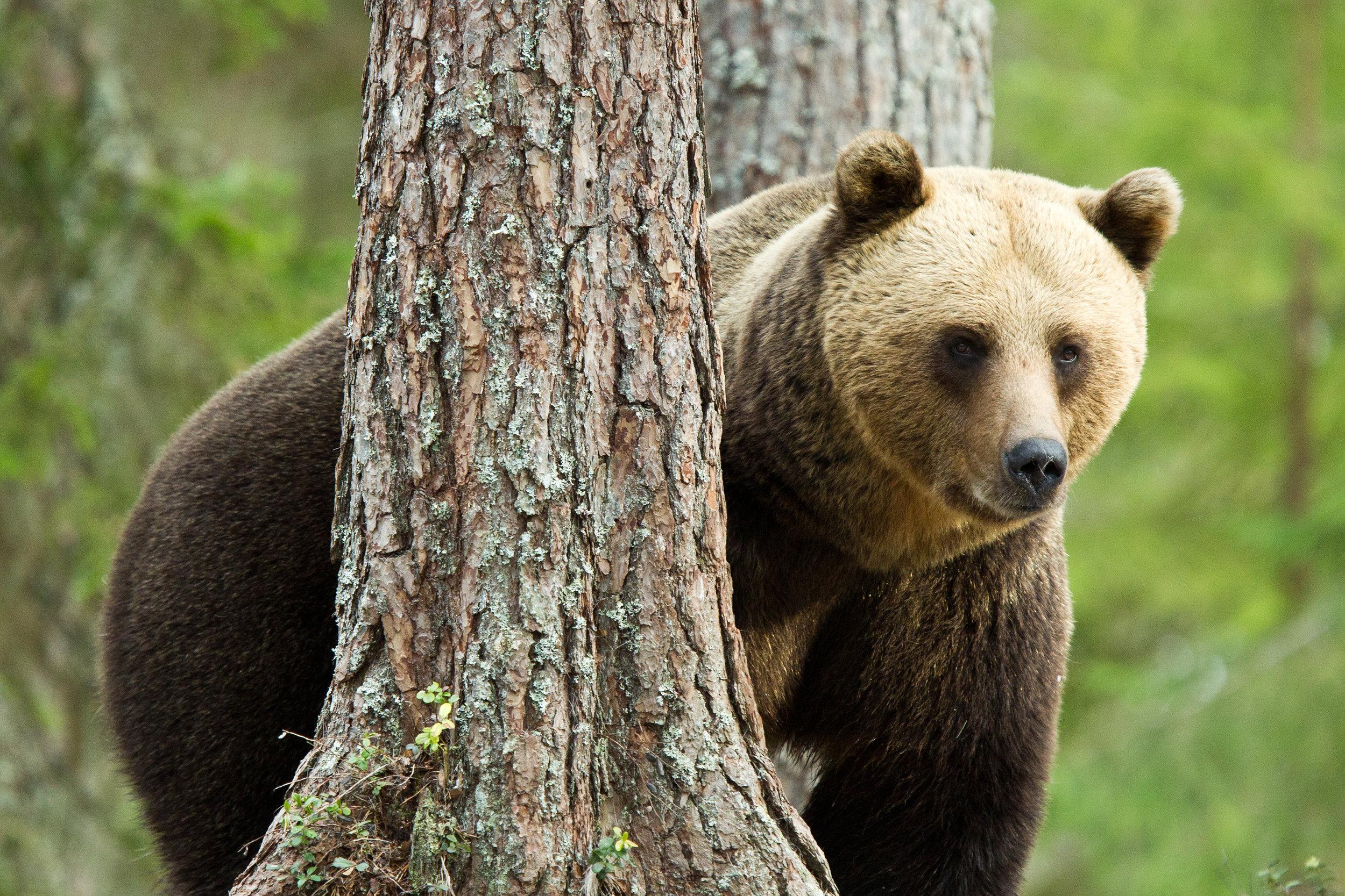 Big Brown bear. Photo: Sara Wennerqvist