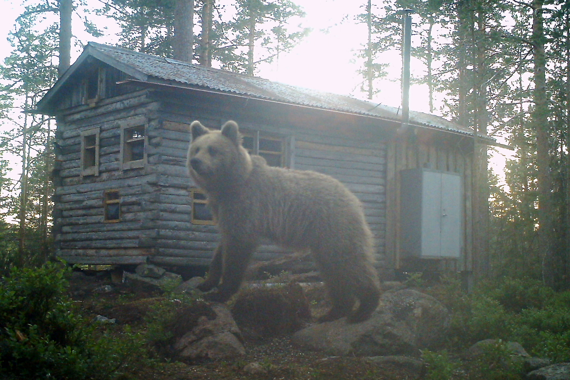 Young Brown bear and photo hide captured by camera trap by Sara Wennerqvist