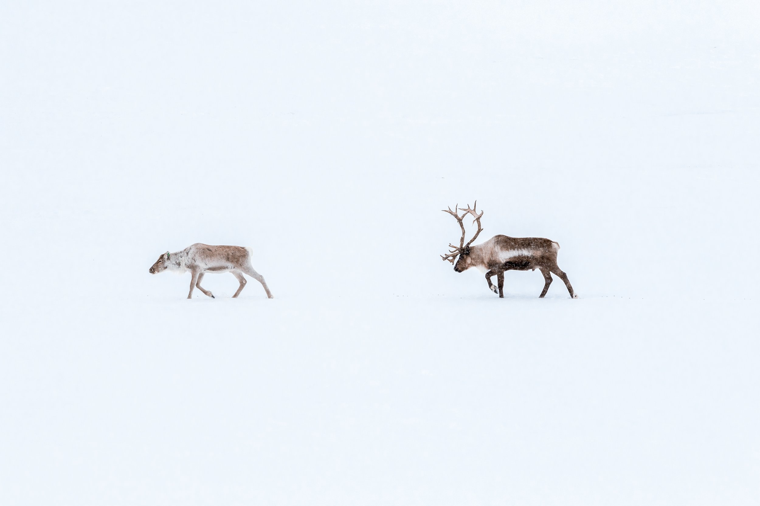 Reindeer in the wild. Photo: Marcus Löfvenberg