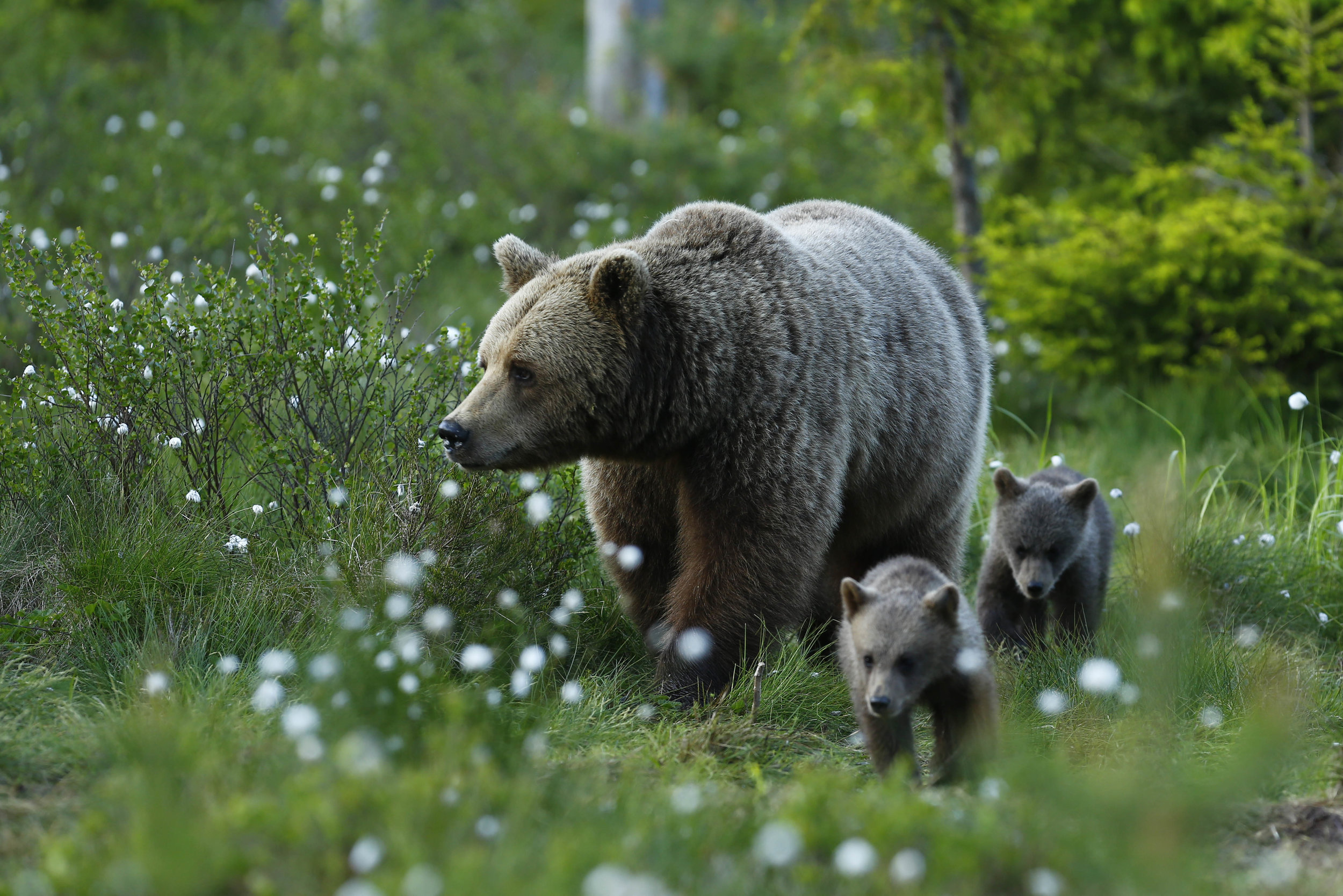 Photo of Brown Bear female with two cubs: Håkan Vargas